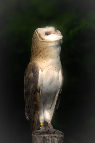 Shadows The Barn Owl