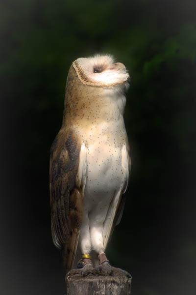 Shadows, the Barn Owl taken at Mountsberg Raptor Centre, Hamilton.