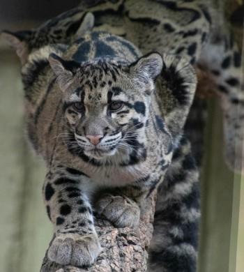 Sue's leopard